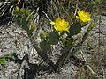 Opuntia humifusa - Flickr - pellaea (1).jpg