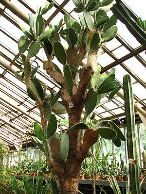 Saint Petersburg Botanical Garden - Opuntia leucotricha