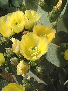 Description de l'image Opuntia rufida01.jpg.
