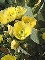 Opuntia rufida01.jpg
