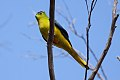 Orange-bellied Parrot (Neophema chrysogaster) (8079606330).jpg