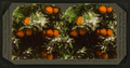 Orange Blossoms and Fruit, Los Angeles, Cal., U.S.A, from Robert N. Dennis collection of stereoscopic views.png