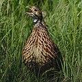 Orange River francolin, Scleroptila levaillantoides, (Scleroptila gutturalis), at Devon Grassland Birding Route, South Africa. (46221994835).jpg