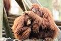 Orangutan Mother Grooming Daughter (12626878865).jpg