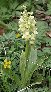 Orchis pallens plant.jpg