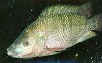 Oreochromismossambicus