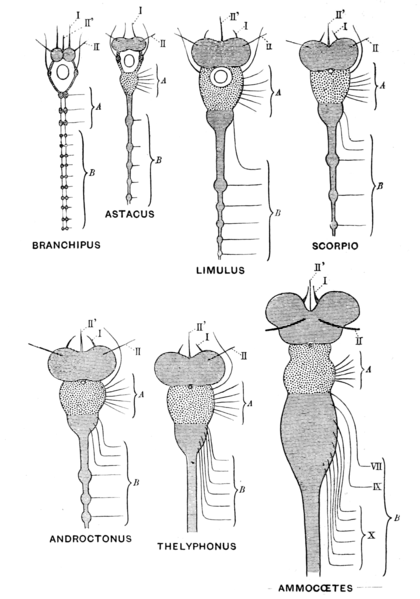 Parts Of A Stage >> Origin of Vertebrates/Chapter I - Wikisource, the free online library
