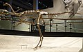 Ornithomimus sp 1 salt lake city.jpg