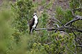 Osprey (Pandion haliaetus) perched along the Gardner River (580d2858-43c8-4f40-939c-87bb903454e6).jpg