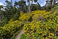 Osteospermum moniliferum, Coastal Cliffs Walkway, Canterbury, New Zealand.jpg