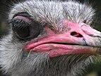 Ostrich head 02.jpg