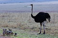 Ostrich or Common Ostrich (Struthio camelus) at Rietflei early morning, male and female with a gaggle of young. (10087959866).jpg