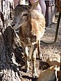Ovis orientalis musimon - Muflón Joven en Reserva de Animales.jpg
