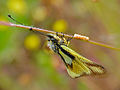 Owlfly (Libelloides coccajus) female with eggs (14503839164).jpg