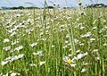 Oxeye Daisy (Leucanthemum vulgare) - geograph.org.uk - 844630.jpg
