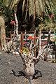 Pájara La Lajita - Oasis Park - Jatropha podagrica 02 ies.jpg
