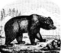 PSM V06 D302 Brown bear.jpg