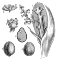 PSM V36 D387 2 Inflorescence and fruit of palm.png