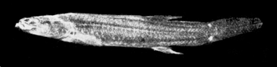 PSM V57 D060 Chologaster papilliferus from illinois.png