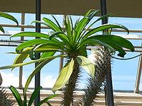 Pachypodium geayi1