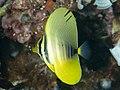 Pacific sailfin tang (Zebrasoma veliferum) (47728511642).jpg