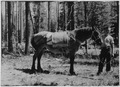 Pack horse used to transport oil and spray to treating crews - NARA - 286078.tif