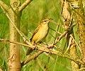 Paddyfield warbler .jpg