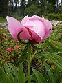 Paeonia officinalis, Giardino Botanico Alpino Viote.JPG