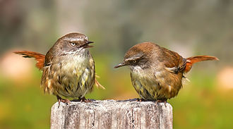 Sericornis - A female (left) white-browed scrubwren (Sericornis frontalis) sings to its mate