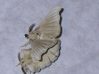 <i>Bombyx mori</i> Moth mainly used in the production of silk