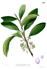 Palaquium philippense Blanco2.423