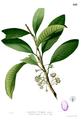 Palaquium philippense Blanco2.423.png
