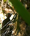 Pale-crested Woodpecker (Celeus lugubris) male (31787624716).jpg