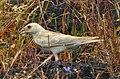 Pale rockfinch (ഇളം പാറക്കുരുവി ) - 1.jpg