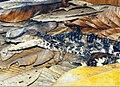 Paleosuchus-trigonatus.jpg