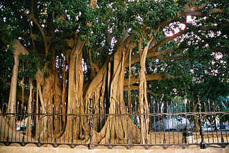 Ficus macrophylla - Ficus macrophylla in Piazza Marina (Palermo), the biggest of Europe