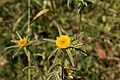 Pallenis spinosa-Astérolide épineux-Fleur-20150605.jpg