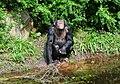 Pan troglodytes - Serengeti-Park Hodenhagen 11.jpg