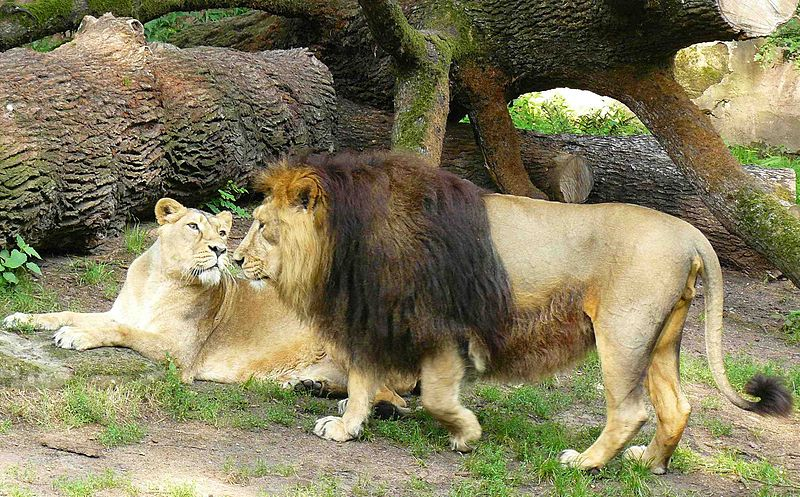 http://upload.wikimedia.org/wikipedia/commons/thumb/4/47/Panthera_leo_persica_Nuremberg_Zoo.JPG/800px-Panthera_leo_persica_Nuremberg_Zoo.JPG
