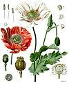 Papaver somniferum - Köhler–s Medizinal-Pflanzen-102.jpg