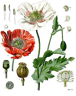 《科勒藥用植物》(1897), Papaver somniferum