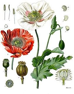 <i>Papaver somniferum</i> Species of flowering plant in the family Papaveraceae