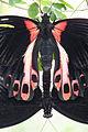 Papilio deiphobus rumanzovia, mating 2.jpg