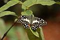 Papilio demoleus 8282.JPG