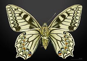 Papilio hospiton - Image: Papilio hospiton MHNT CUT 2013 3 10 Bigorno male Ventral