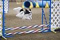 Papillon dog agility jump.jpg