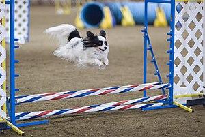 Papillon dog - Papillon dog agility jump