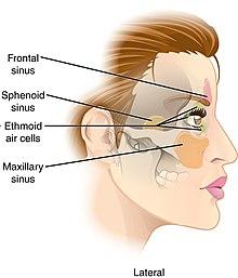 Sphenoid sinus - Wikipedia