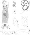 Parasite150040-fig12 Pseudorhabdosynochus vascellum Kritsky, Bakenhaster & Adams, 2015 - FIGS 89-96.tif
