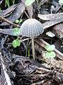 Parasola lactea (A.H. Sm.) Redhead, Vilgalys & Hopple 180181.jpg